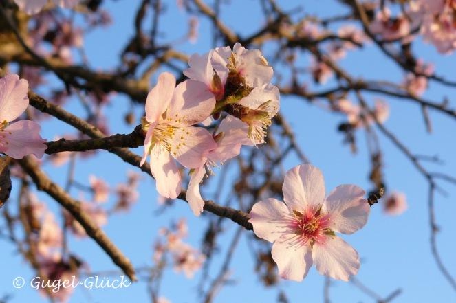 Mandelblüte S s